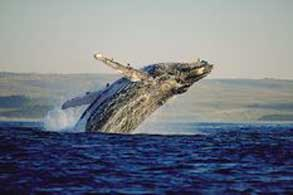 Whale Hermanus Tours